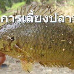 การเลี้ยงปลาหมอ เลี้ยงง่าย  รายได้ดี มีตลาดรองรับ