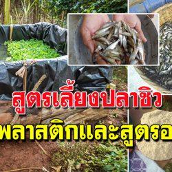 สูตรเลี้ยงปลาซิวในบ่อพลาสติก เลี้ยงง่าย ใช้พื้นที่ไม่มาก ได้ผลดี เลี้ยงได้เลย
